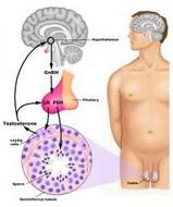 Muški polni hormoni