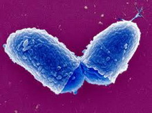 Corynebacterium-diphteriae