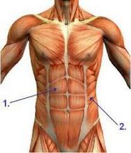 Musculus Rectus Abdominisa